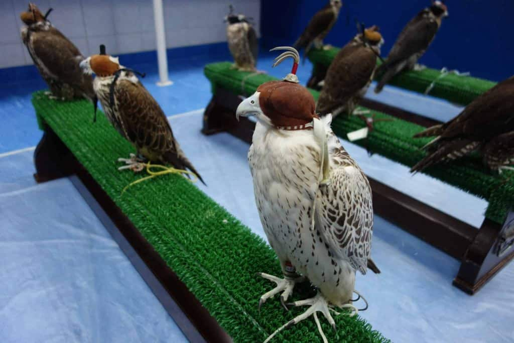 Falcon Treatment Session at the Hospital