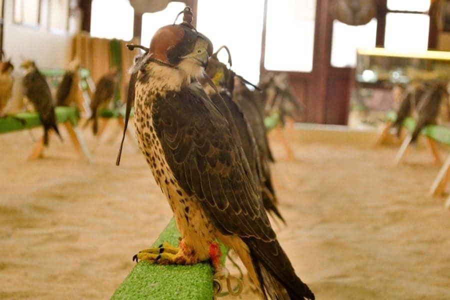 Falcon Treatment